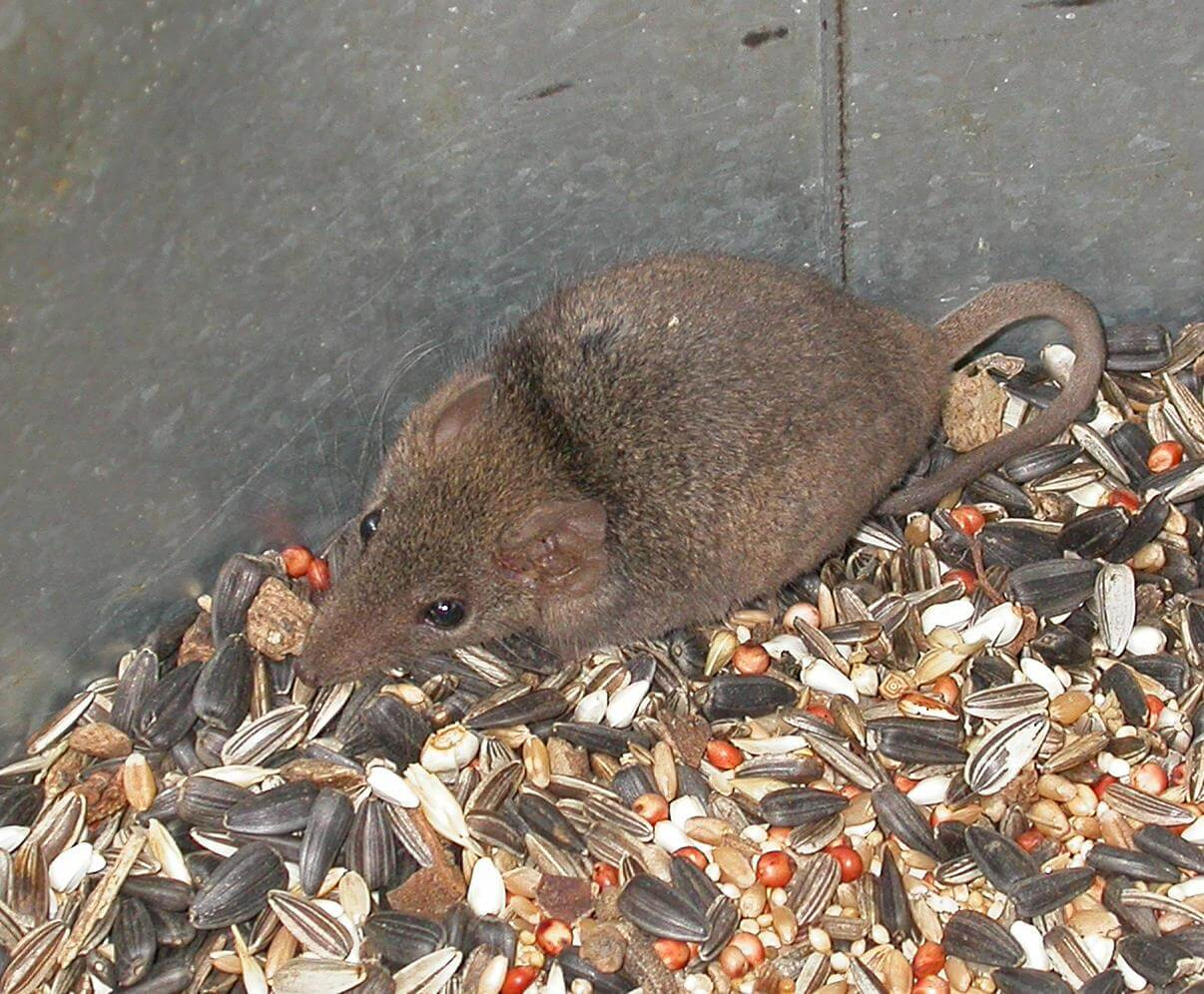 Native Mouse Antechinus stuartii Photo Jill Dark