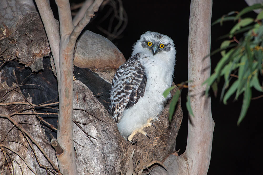 Powerful-Owl-chick-2013-August-13