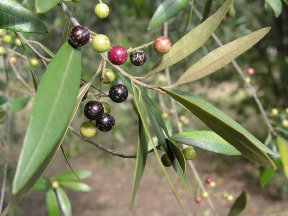 african olive