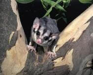 Noxious weeds are a major threat to Sydney Turpentine Ironbark Forests, which provide habitat for Sugar Gliders (above). Image: Jill Dark