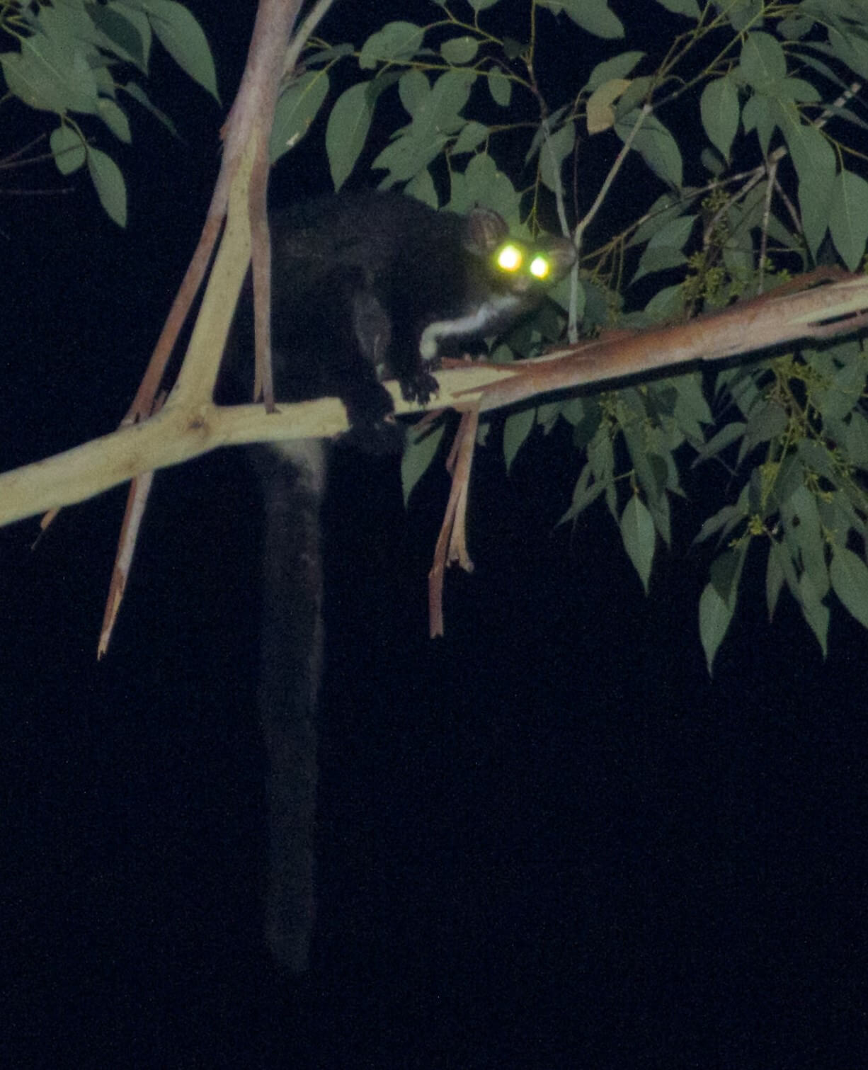 Greater Glider Peter Ridgeway Blue Gum Swamp Winmalee 12-6-2015