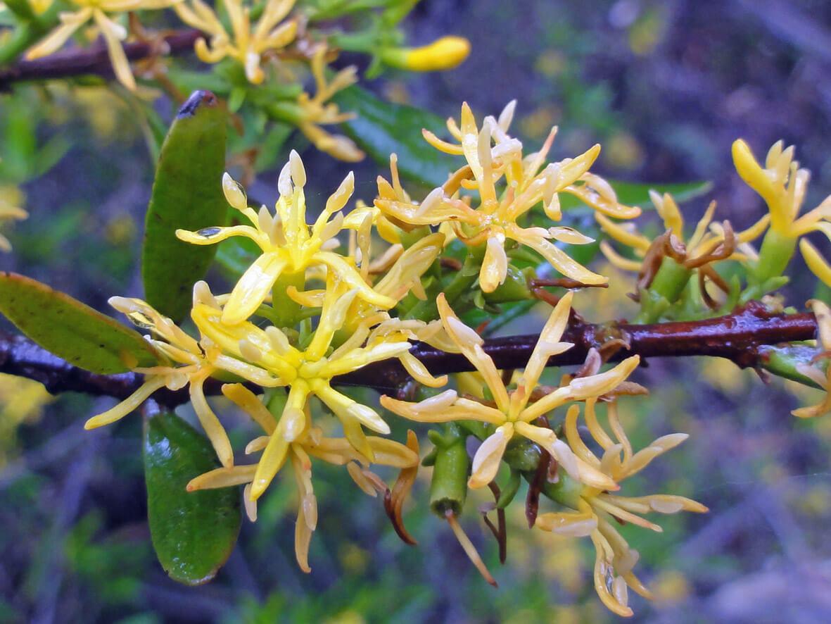 Atkinsonia ligustrina close up of flowers, November 2015