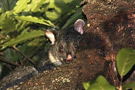 Mountain Brushtail at Mt Irvine photo by Peter Smith