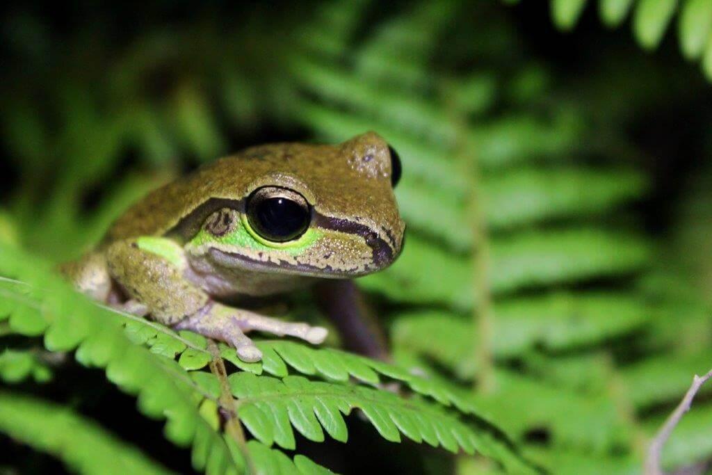 Blue Mountains Stream Frog Litopria citropa - Lucy Kidson