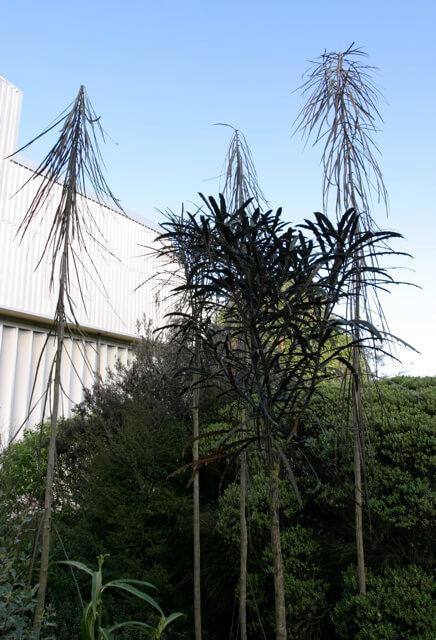 Lancewood tree, Pseudopanax, New Zealand. Phot credit: Mike Hudson.
