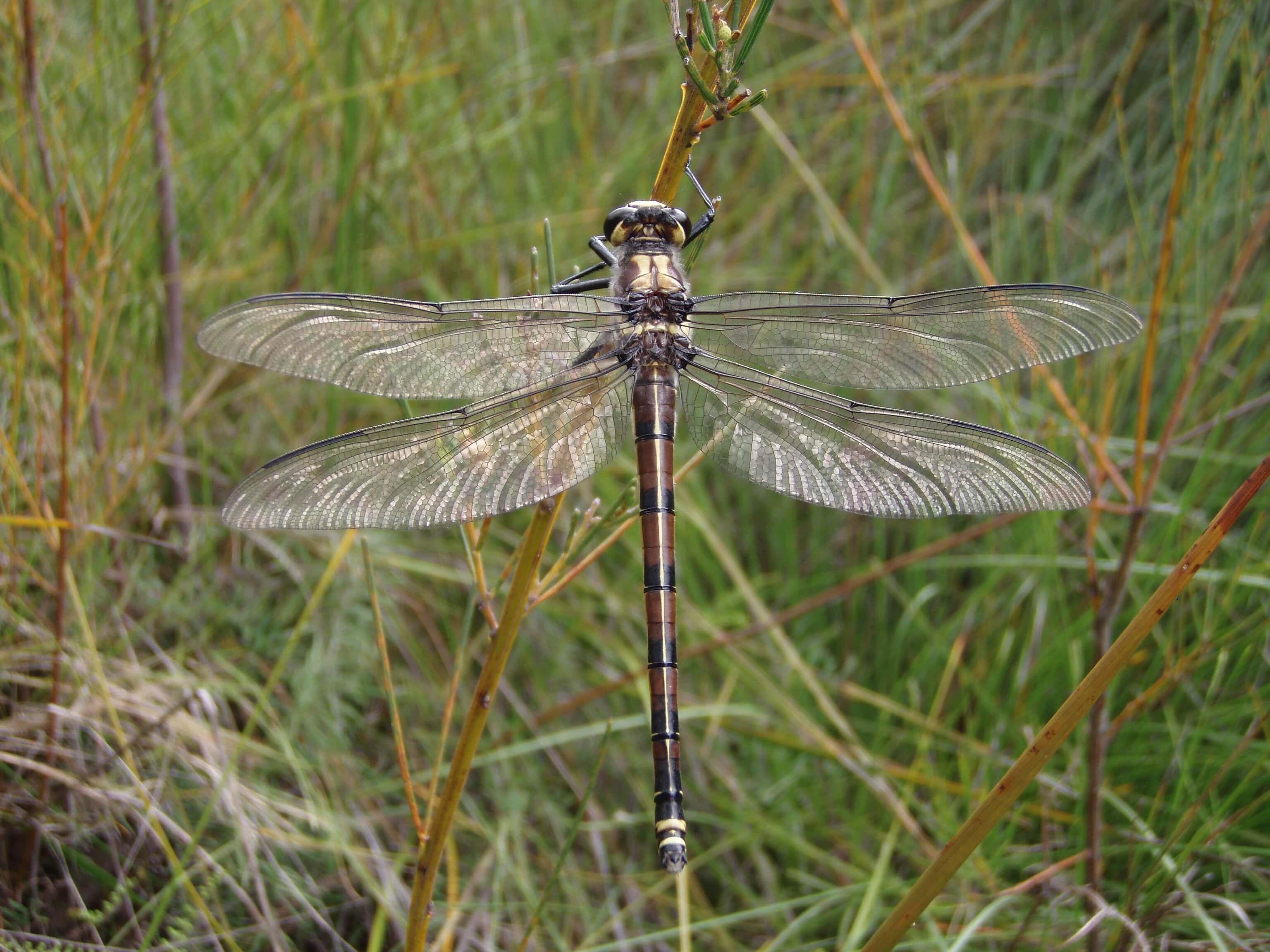 Female Petalura gigantea