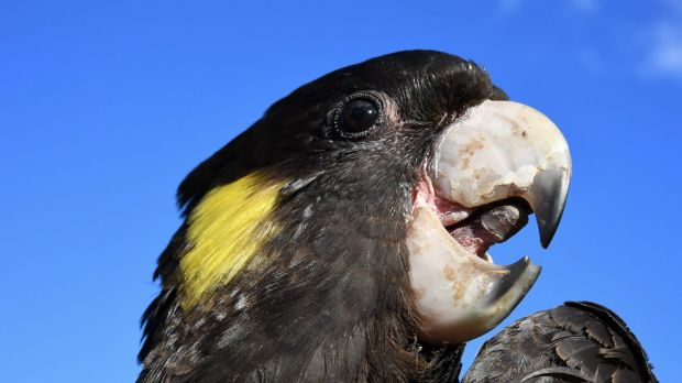 a-yellow-tailed-black-cockatoo-in-sydneys-centennial-park-photo-by-peter-rae